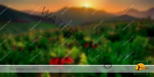 The land of Q Inversed Tulips Header