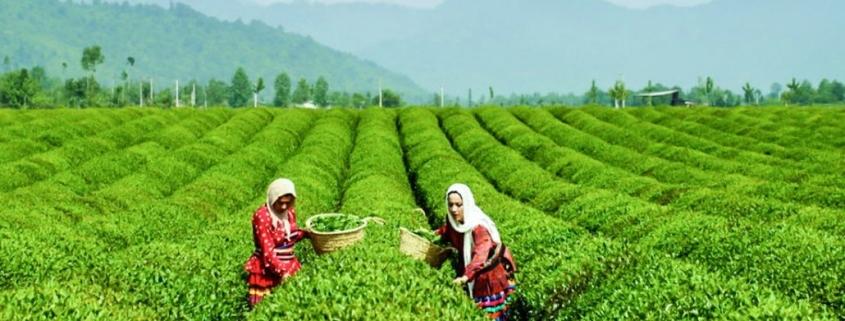 Iran-tea